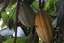 Cacao en Côte d'Ivoire: les producteurs oscillent entre résignation et espoir