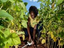 """Lutte contre le ravageur : La nouvelle application """"Nuru"""" lancée pour les agriculteurs"""