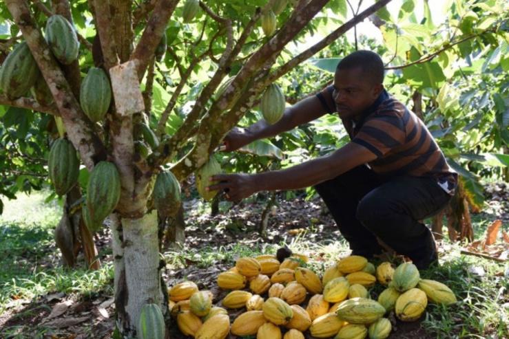 Le géant français du cacao SucDen contraint à soutenir le prix planché du cacao pour le bénéfice des cacaoculteurs ivoiriens et ghanéens
