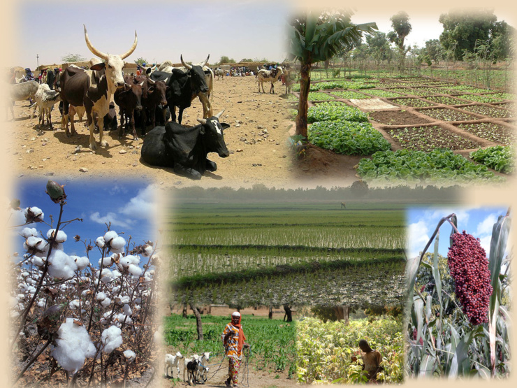 Les secteurs ouest africains du coton, du maïs et de l'élevage.