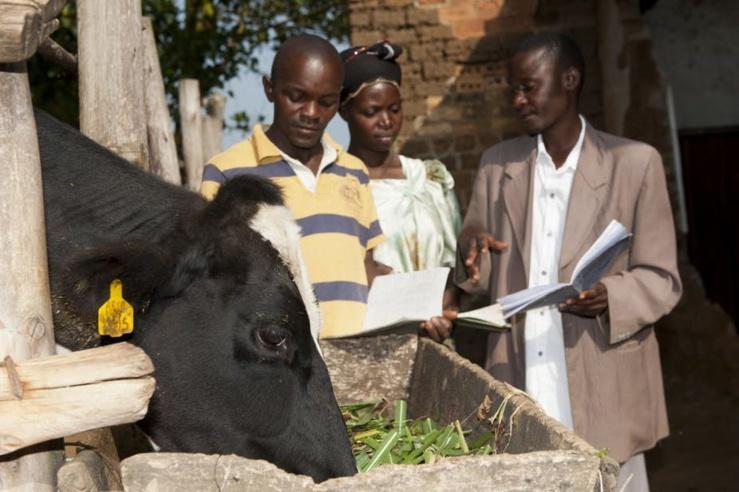 Agriculteur ougandais avec un conseiller à la recherche de registres laitiers pour une vache laitière.