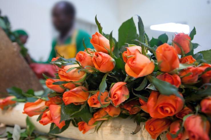 Les exportations kenyanes de fleurs vers l'Europe ont chuté de 50%, touchant environ 1 million de personnes. Getty Images