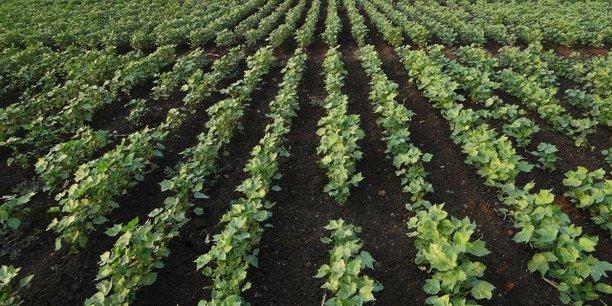 Cameroun : bonnes perspectives pour la filière coton