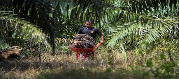 L'Indonésie décrète un moratoire sur les nouvelles plantations de palmiers à huile