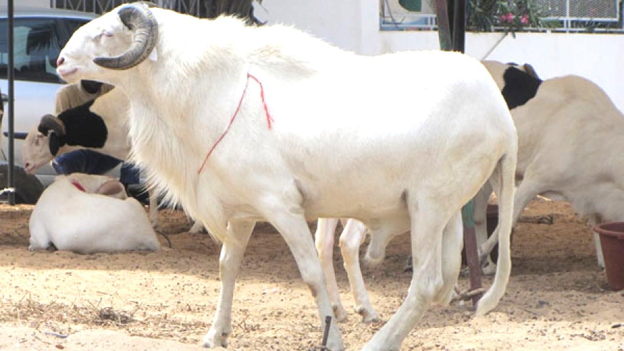 Préparation de la Tabaski 2019 au Sénégal