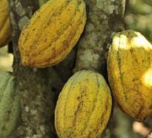 Côte d'Ivoire : neuf millions de dollars pour augmenter la productivité et les revenus des cacaoculteurs