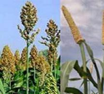 SENEGAL : la production céréalière de 2018 estimée à 2 732 109 tonnes