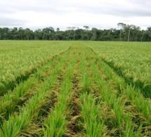 Les surfaces et les productions de riz du …Sénégal estimées à 3,16 millions d'hectares pour la campagne de commercialisation 2019/20