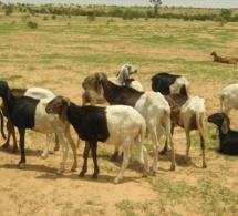 En Gambie, un projet sur les chaînes de valeur soutenu par la Bad permet d'augmenter la production animale et le revenu des agro-entrepreneurs.