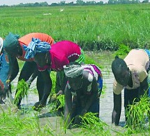 17 millions de tonnes supplémentaires de riz décortiqué seront nécessaire à l'Afrique